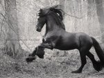 Stately Friesian 1