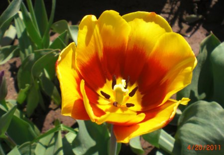 Tulip - colors, flowers, nature, tulip