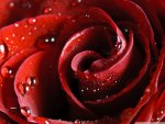 Beautiful Scarlet Rose