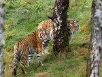 pair of tigers