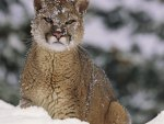 stunning cougar in the snow