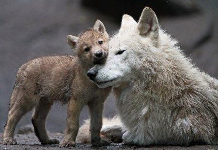 Wolves love bites winter Love Bites