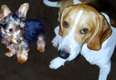 Baby and Buddy - basset hound, pets, yorkie, dogs