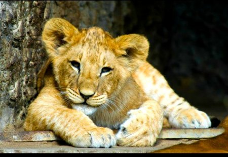 Cute Lion Cub Cats Animals Background Wallpapers On Desktop