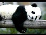 Panda napping