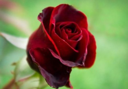 RED ROSEBUD - red, green, romance, valentine, roses, blooms, buds