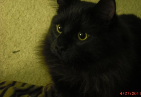 My Black Cat - black, cats, animals, detail
