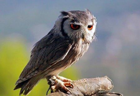 owl - owl, bird, wild