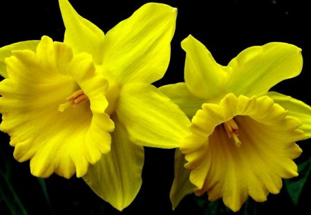DAFFODIL SUNSHINE - black backgrounds, daffodils, bright, flowers, yellow, sunny, blooms