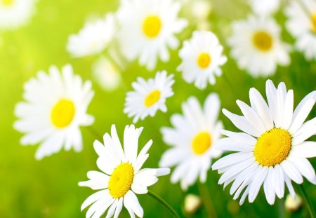 Morning daises - margarita, flower, summer, nature, daisy