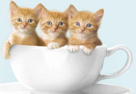 Three Little Cats - kittens, animals, eyes, three little cats