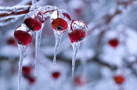 Winter Berries - Winter & Nature Background Wallpapers on Desktop Nexus (Image 1253925)
