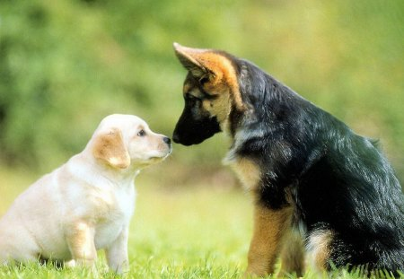 And German Shepherd Puppy Dogs Animals Background Wallpapers On