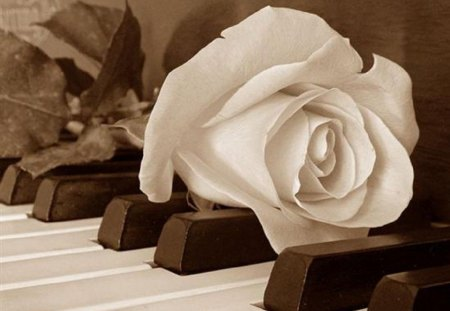 White Rose Piano Wallpaper White Rose Piano Wallpaper