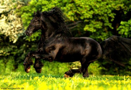 Friesian Horses Wallpapers Friesian Horse