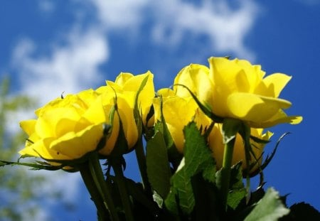 Thank You - yellow, sky, roses, blue