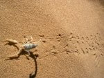 Desert Scorpion
