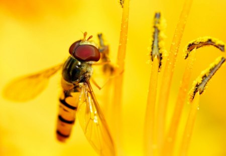 Hoverfly flower flies or syrphid fly - fly, flower, syrphid, flies, hoverfly