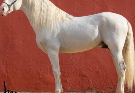 White Iberian Beauty - white, andalusian, horses, spanish