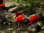 Scarlet Ibis Red Birds