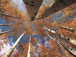 view from below in an aspen grove