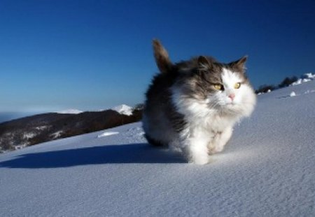 The Master of the Mountain - mountain, cat, animals, master