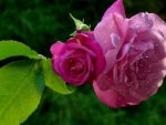 Gorgeous Wet Roses
