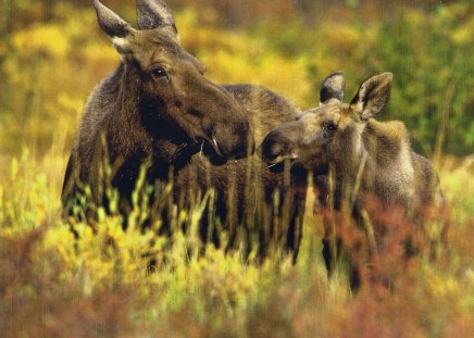 Moose - range, moose, wild, animal