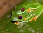 PAIR OF RED EYED TREE FROGS