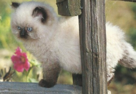 a fluffy siamese kitten cats wallpapers and images desktop nexus
