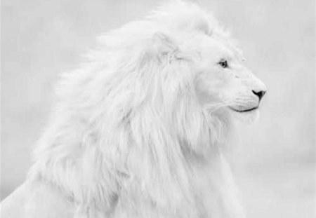 White Lion - spectacular, lion, white, cat