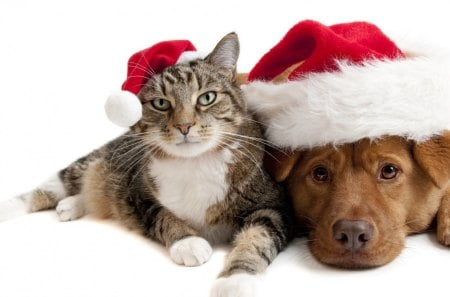Cat and dog in Santa hats - hats, christmas, dog, feline, cat