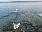 swans in black sea near nesebar,bulgaria
