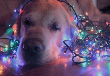 Christmas dog - christmas eve, pretty, christmas balls, box, magic, bell, xmas, orange ball, magic christmas, beauty, christmas bell, lovely, holiday, christmas, ribbon, decoration, golden, new year, christmas decorations, gift, merry christmas, balls, bells, holidays, christmas gifts, bow, beautiful, photography, ball, decorations, golden ball, christmas bells, happy holidays, stars, golden balls, christmas decoration, christmas ball, red balls, christmas gift, happy new year