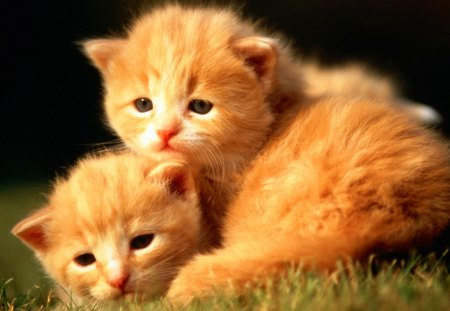 Little Gingers Cats Animals Background Wallpapers On Desktop