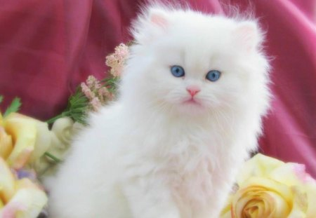 Beautiful White Cat With Blue Eyes Cats Animals Background Wallpapers On Desktop Nexus Image 1282514