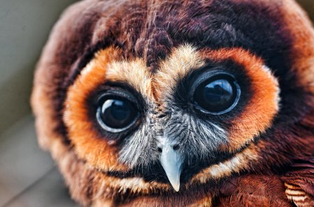owl - wing, birds, eyes, owl