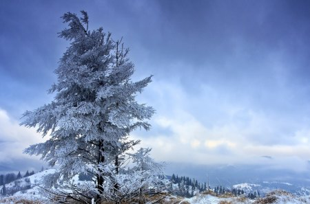 solitary fir tree in winter - solitary, tree, clouds, winter