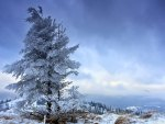 solitary fir tree in winter