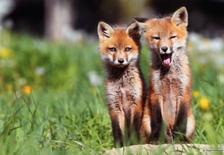 Foxy - cute, fox, sleepy, baby animals