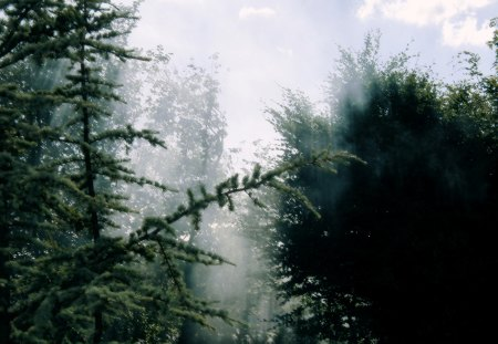 Steamy Trees - bream, forest, vapour, foggy, sun, trees, fog, tree, pine, steamy, nature