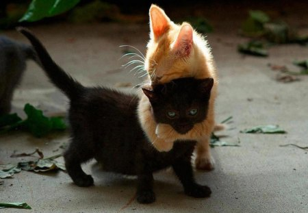 What is Love? - love, kittens, black, white, pets, cats