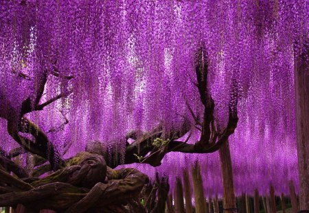wisteria fantasy - japan, spring, purple, wisteria