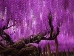 wisteria fantasy