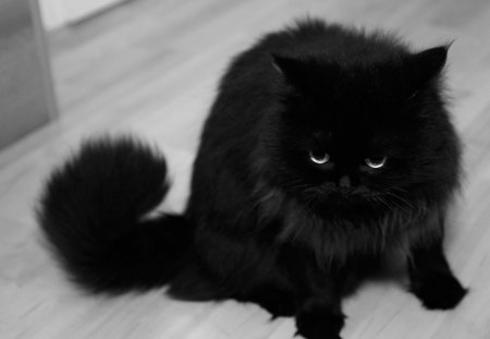 Black_Cat - black, cool, cat, picture