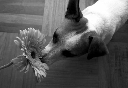~ Romantic Girl♥ ~ - white, smelling the flower, lover, flower, dogs, animals, sweet scent, romantic girl, forever, gerbera, black, love