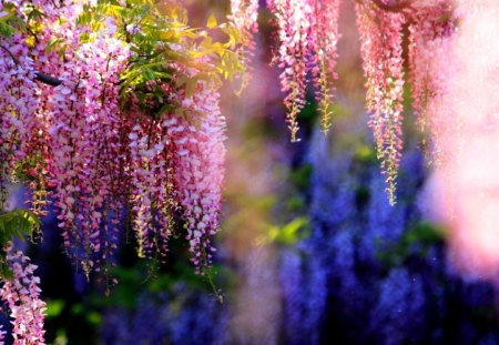 PINK WISTERIA - wisteria, pink, garden, blossoms