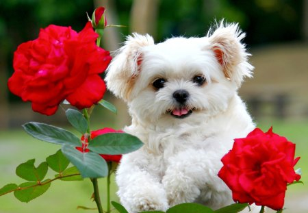 CUTE PUPPY - cute, pet, rose, flower, puppy, dog, animal