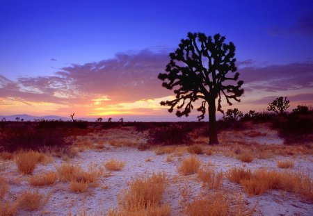 sunset on joshua tree in the mojave desert - nature, deserts