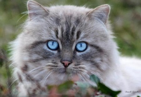 Blue eyes - cat, eyes, blue, animals